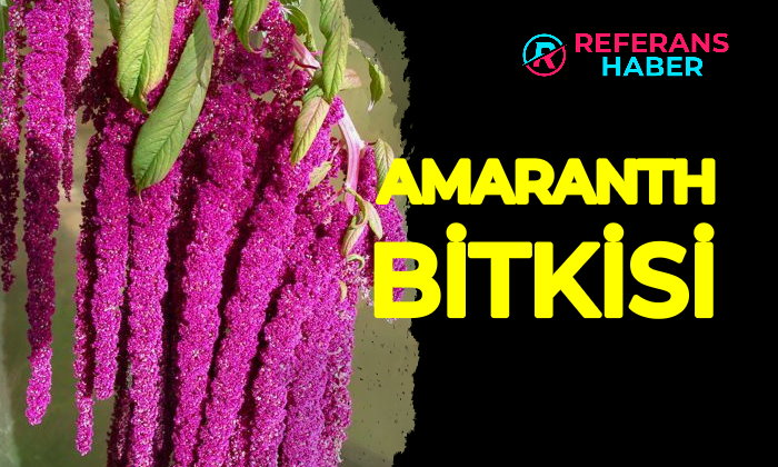 amaranth bitkisi fable tea